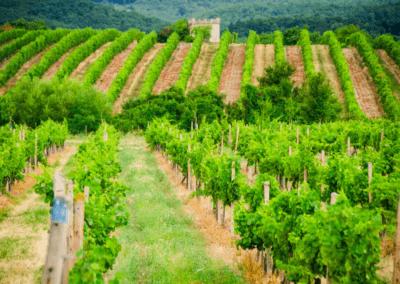 Vinohrad v Modre