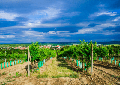 Vinohrady v Modre